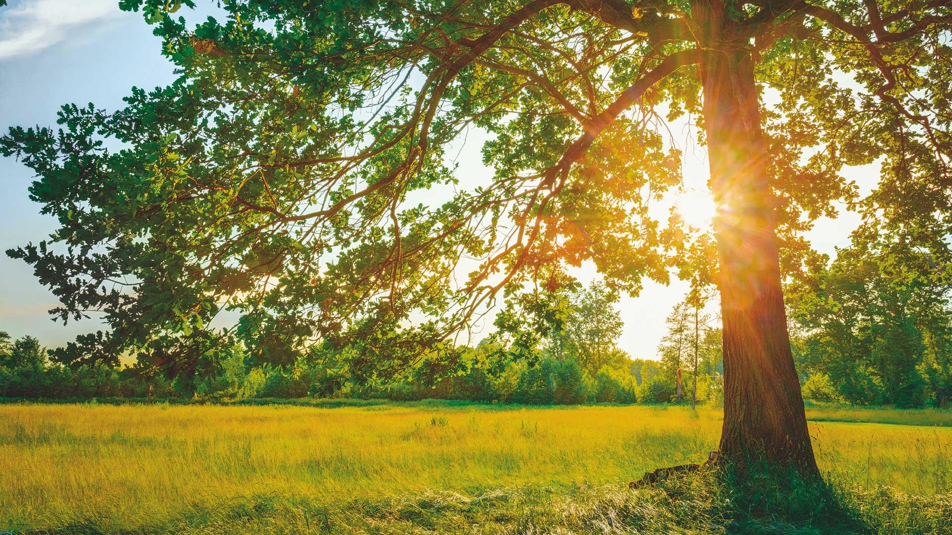 Baum auf sommerlicher Wiese.